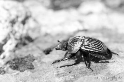 Dor beetle taking a walk